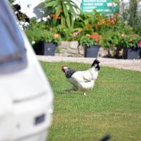 Roselands hens walking around 1900 pixel