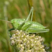 Great_green_bush_Cricket_cpt_Bruce_Shortland